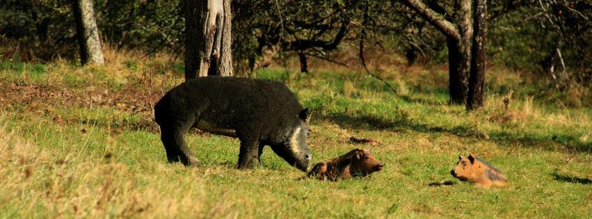 Wildschwein am Bogenparcours Collenberg
